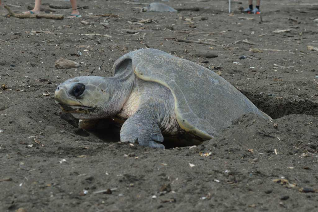 Sea-Turtle-Conservation-What-to-Know-Before-You-Go