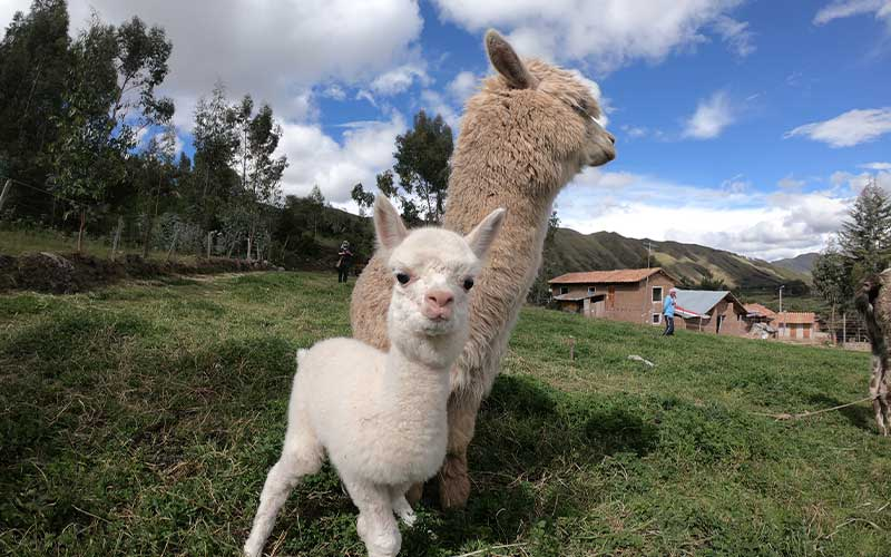 Volunteer-Abroad-Peru-Alpacas-Llamas