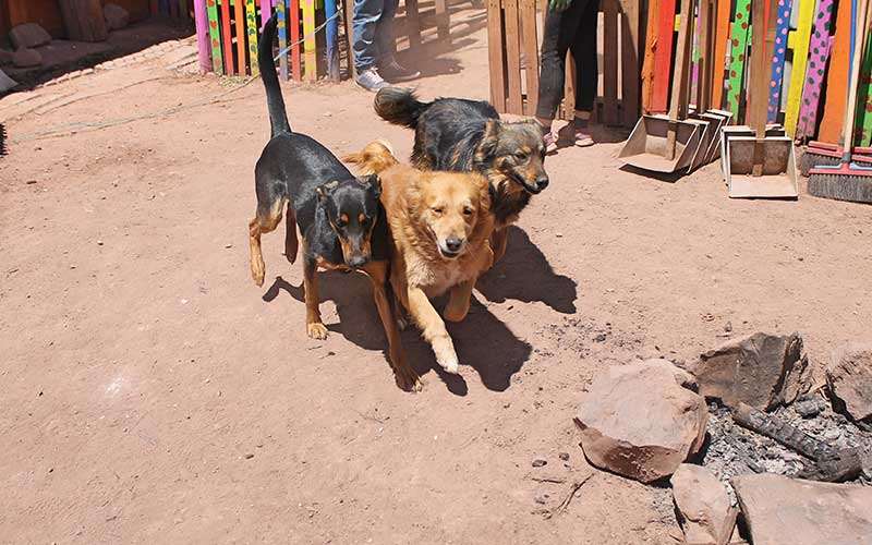 rescued-dogs-playing-in-cusco