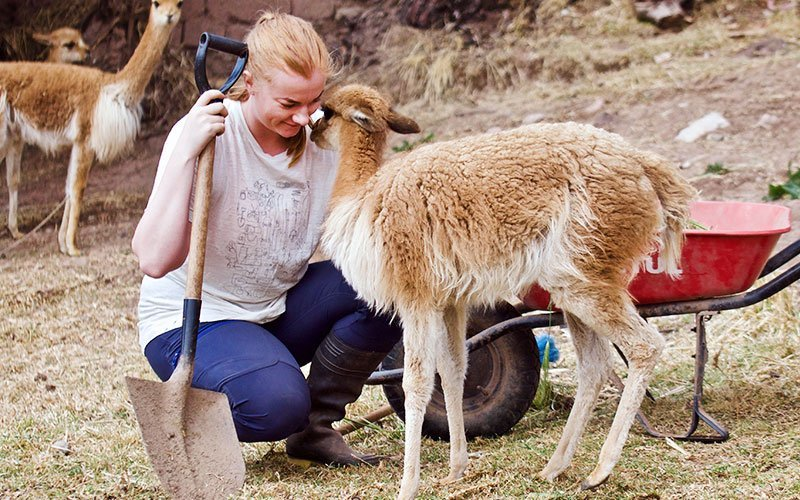 Volunteer with Llamas and Alpacas Abroad